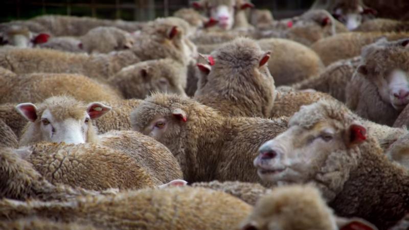 saltgrass lamb